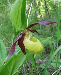 ВЕНЕРИН БАШМАЧОК НАСТОЯЩИЙ Cypripedium calceolus L. Семейство Орхидные –  Orchidaceae 5f28cf8785d42